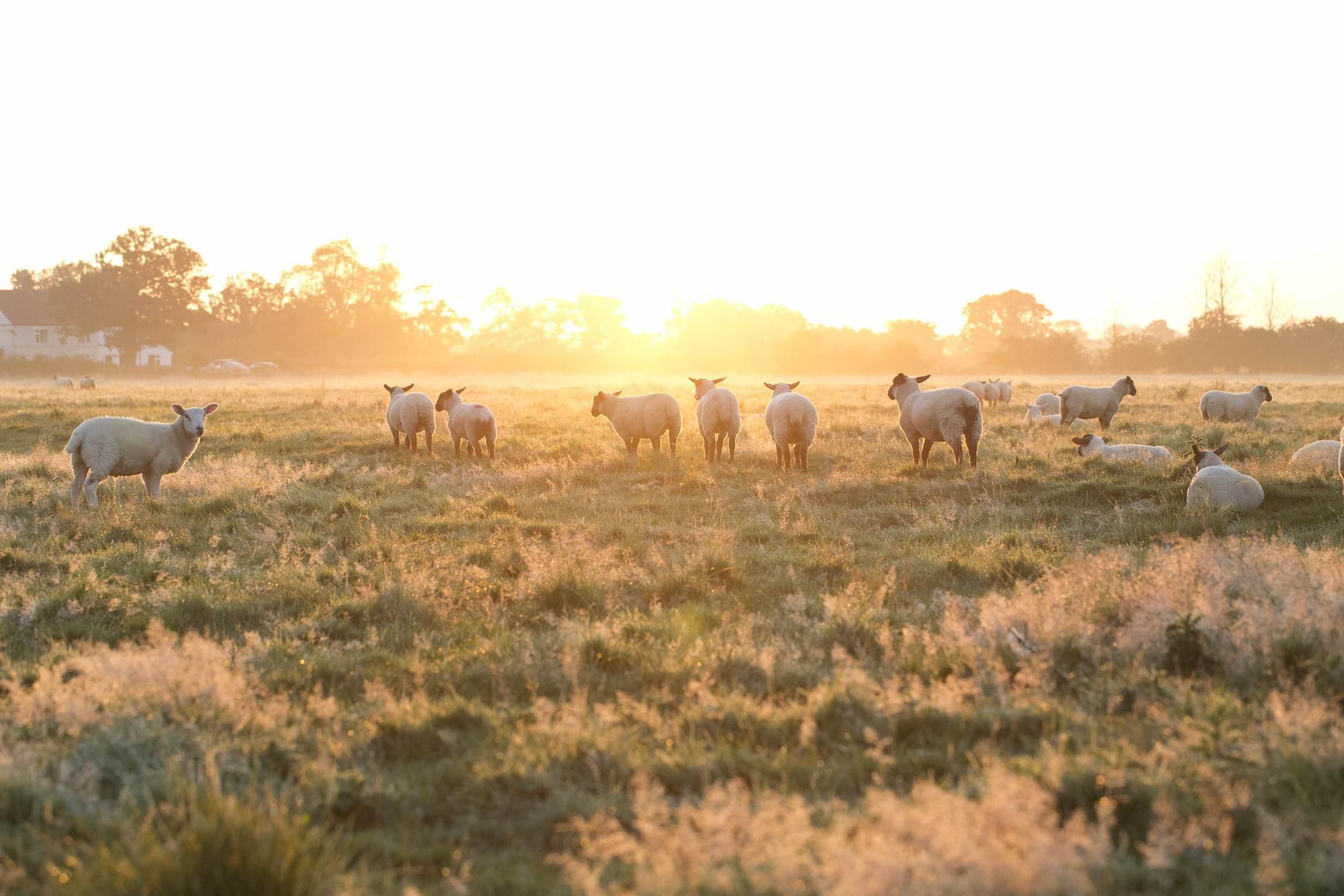 Farm sheep _2mb (1)