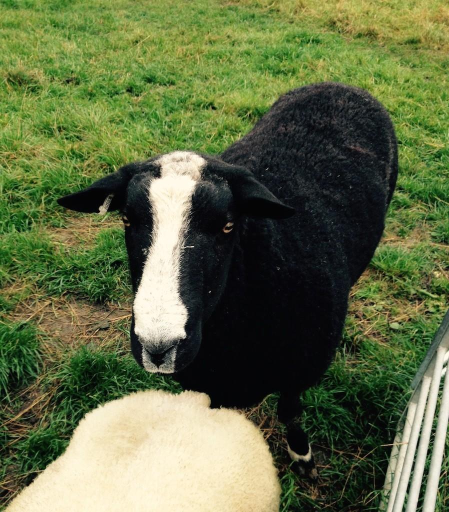 Barrington the sheep